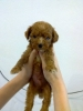 狗狗 Normal Red Toy Poodle